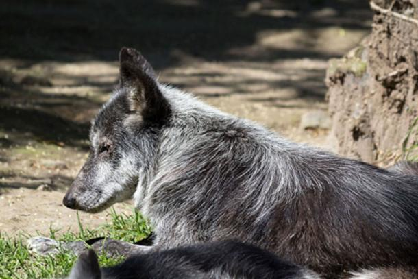 A modern Canadian wolf (Canis lupus) at Chapultepec Zoo. (CC BY-SA 4.0)