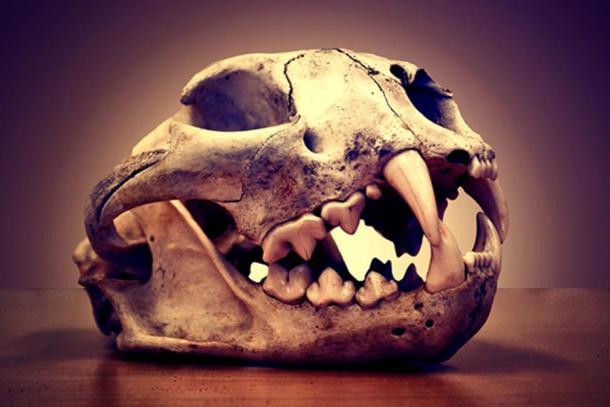 A puma skull