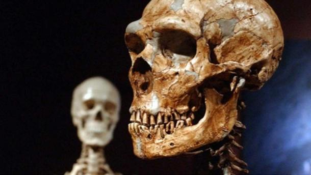 A reconstructed Neanderthal skeleton, right, is displayed next to a modern human skeleton at the Museum of Natural History in New York.