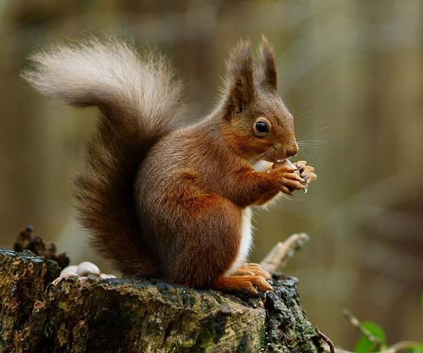 A red squirrel in the forest (Sciurus vulgaris).