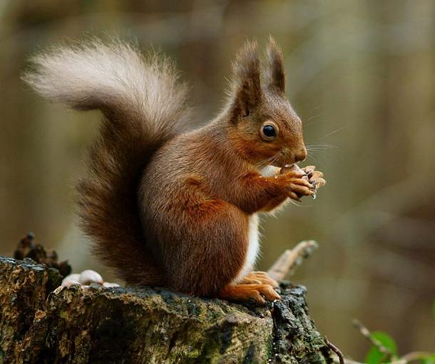 A red squirrel in the forest (Sciurus vulgaris).