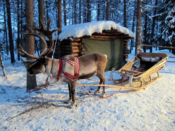 A reindeer with a sleigh in Kuusamo Lapland.