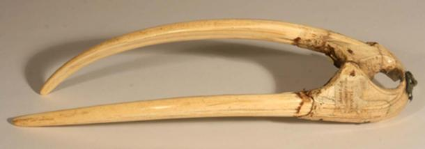 A walrus rostrum (upper jaw bone) with tusks used in the study. It can be dated to c.1200-1400 AD based on the characteristics of a runic inscription in Old Norse. (Musées du Mans)