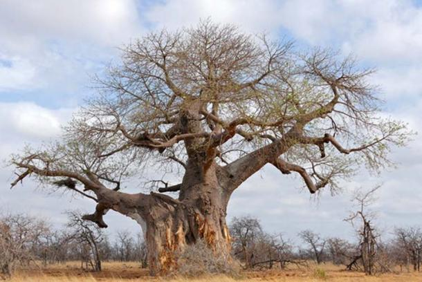 Adansonia digitata can get to 2,500-years-old. Bernard Dupont/Flickr, CC BY-SA
