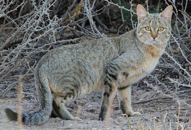 African wild cat. (Leonemanuel/CC BY SA 4.0)