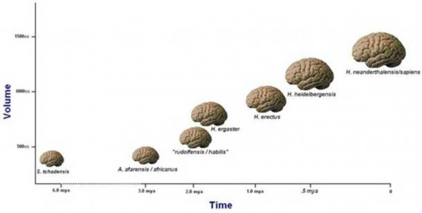 After an initial flatlining, this plot appears to show consistent enlargement of hominid brains over the last 2 million years. Note that these brain volumes are averaged across a number of independent lineages within the genus Homo and likely represent the preferential success of larger-brained species.