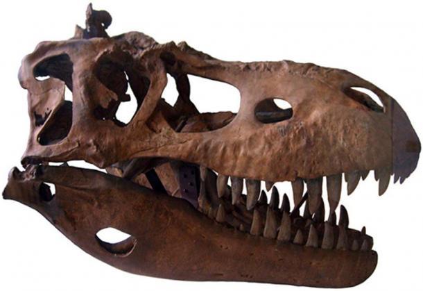 Albertosaurus Skull Cast Geological Museum in Copenhagen (Michael BH / CC BY-SA 3.0)