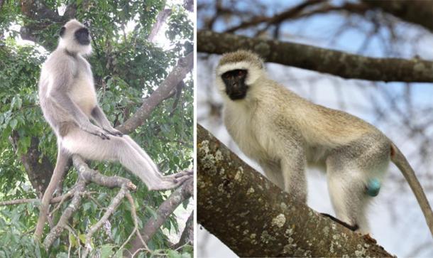 Left, Alpha male Grey Langur at Mudumalai National Park. (Marcus334 / CC BY-SA 3.0) Right, Vervet Monkey. (Carolyn/Adobe Stock)