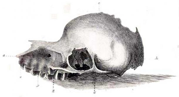An 1847 drawing of a skull of the long-extinct creature the Bunyip, reproduced from The Tasmanian Journal of Natural Science. (Public Domain)