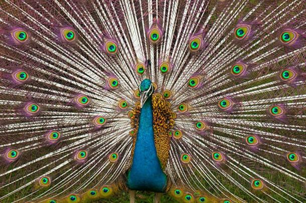 An Indian peacock displaying its tail plumage. (Vidnaray/CC BY SA 3.0)