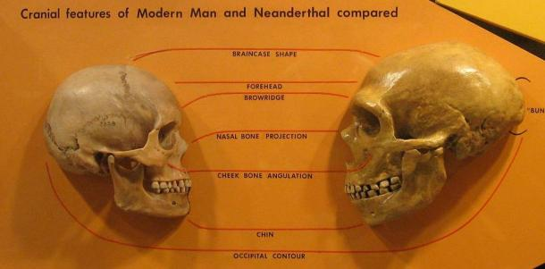 Anatomical comparison of skulls of Homo sapiens, left and Homo neanderthalensis, right