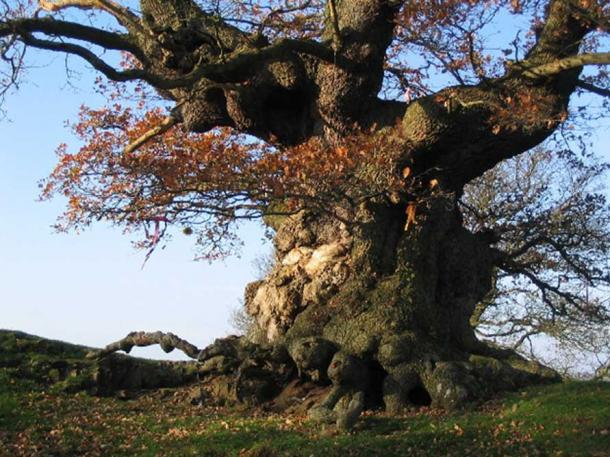 Ancient Oak Tree, Fowlet Farm, Hollybush.