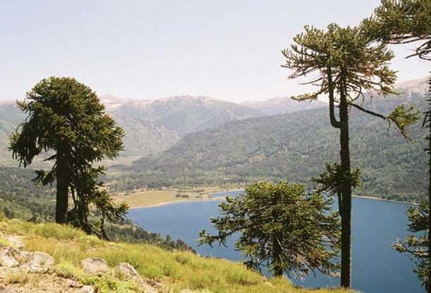 Araucaria araucana trees in Parque Nacional Lanin, Argentina. (Public Domain)