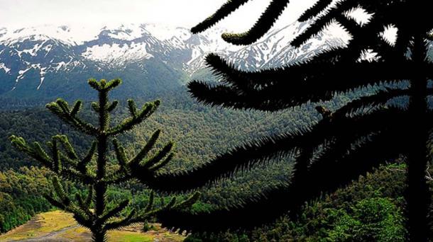 Araucaria branches. Conguillío National Park, Araucanía, Chile. (CC BY-SA 4.0)