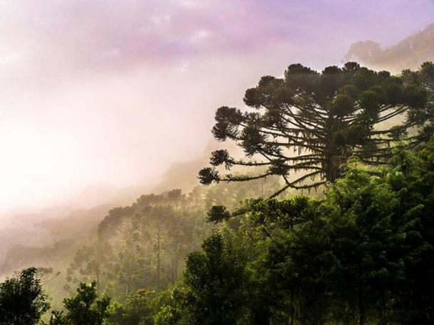 Araucarias involved in the fog, Brazil. (CC BY-SA 3.0)