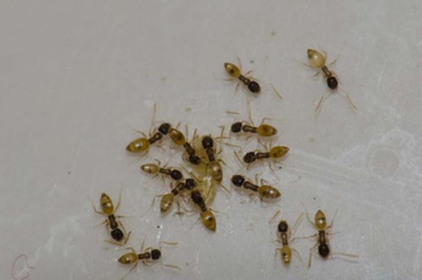 Argentine ants Argentine ants (Linepithema humile). feeding on food scraps. Schamann. Las Palmas de Gran Canaria. Gran Canaria. Canary Islands. Spain. (Víctor /Adobe Stock)