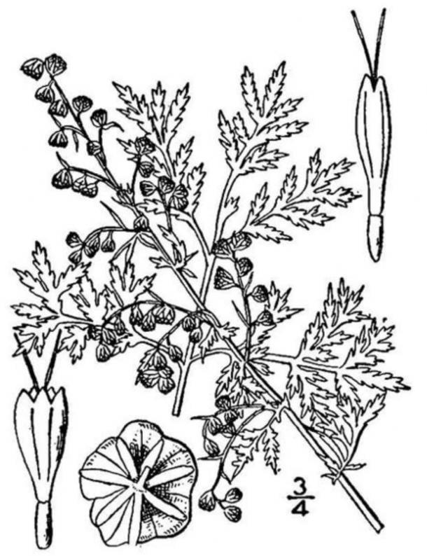 Artemisia annua. (Dominio público)