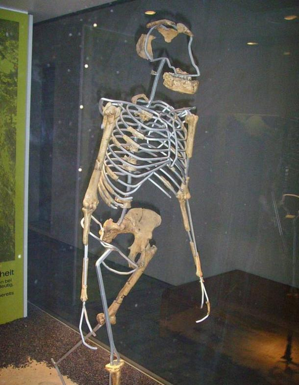 Side view of Australopithecus afarensis (Lucy), replica.