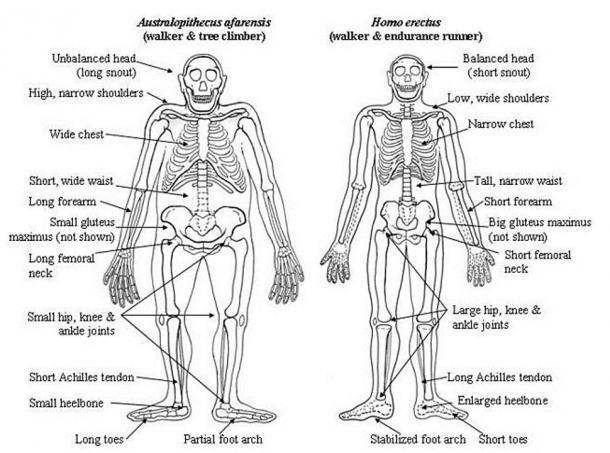 Australopithecus afarensis compared to Homo erectus.