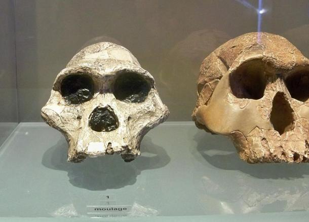 Australopithecus fossils