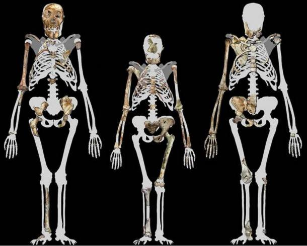 Australopithecus sediba, two fossils of which are shown on the left and right, are thought to have been a transitional species between older Australopithecus, like Lucy in the middle, and later Homo species. Image compiled by Peter Schmid courtesy of Lee R. Berger. (CC BY-SA 3.0 )