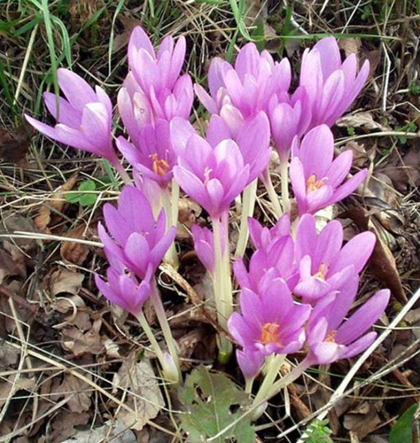 Autumn crocus (Colchicum autumnale) growing at Gföhlberg, Lower Austria.
