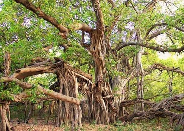 Banyan tree at Ranthambore National Park. (Shrinivas Patil/CC BY SA 4.0)