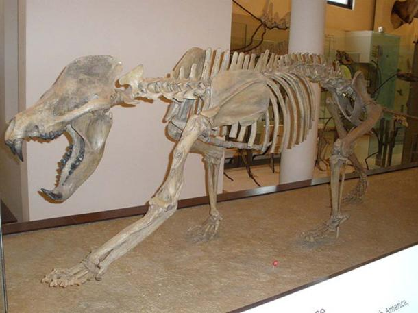 Bear Dog Skeleton (amphicyonidae). They existed from around 44 until about 2 million years ago.