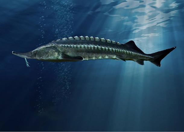 Beluga – a European sturgeon primarily found in the Caspian and Black Sea basins. (Mаксим Яковлєв/CC BY SA 4.0)