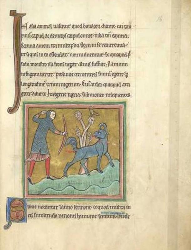 Folio 16r from a 13th century Bestiary, The Rochester Bestiary (British Library, Royal MS 12 F XIII), showing the Bonnacon.
