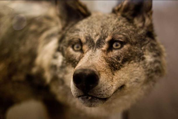 Big Bad Wolf.