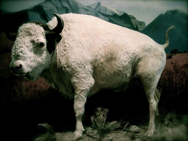 Big Medicine,' a sacred white buffalo that lived from 1933-1959 on the National Bison Range, is now on permanent display at the Montana Historical Society.