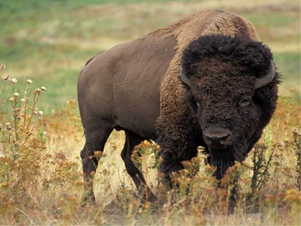 Bison of North America. (Public Domain)