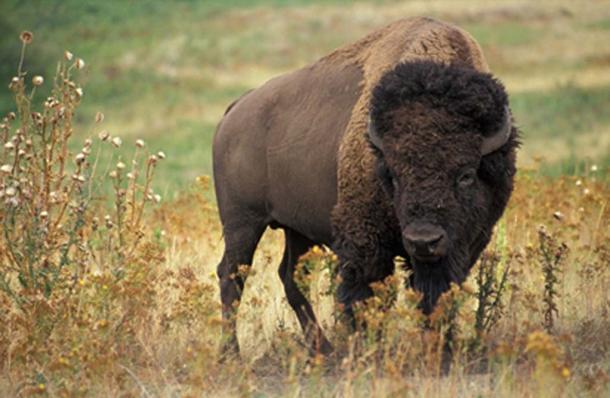 Bison (Public Domain)