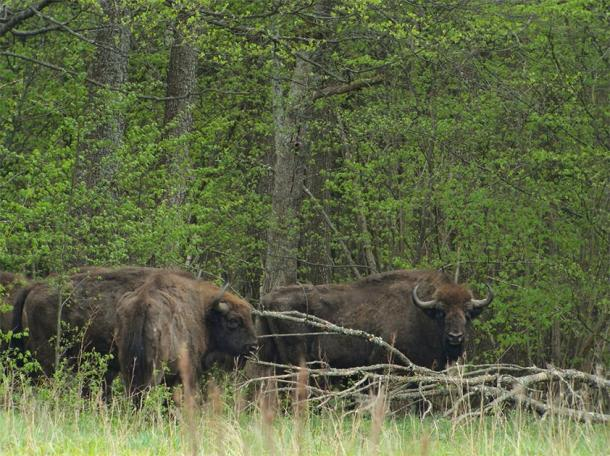Bison in the Białowieża Forest, Poland. (Frank Vassen / CC BY 2.0)