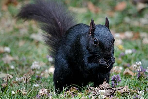 A Black Squirrel