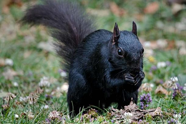 A Black Squirrel