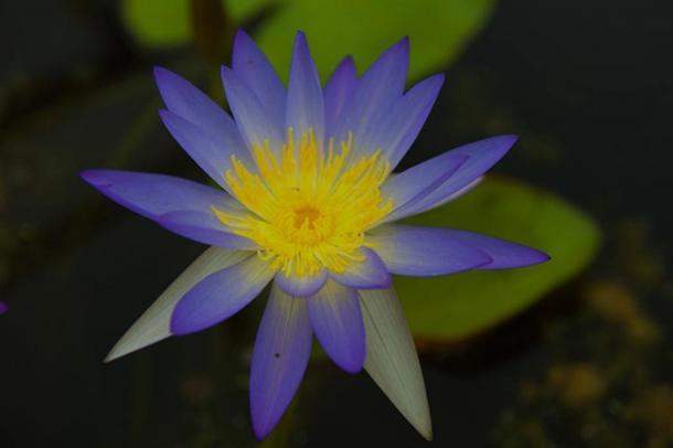 Blue Lotus (Images via Liza Knox.)