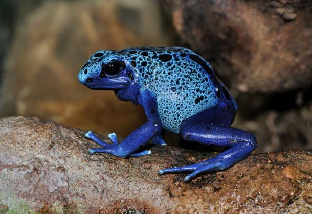 Blue Poison Dart Frog (Dendrobates azureus) in the Frankfurt Zoo, Germany.