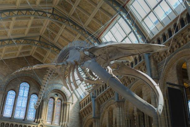 Blue Whale Skeleton hanging From the ceiling of the Natural History Museum in London, which can be seen on the virtual museum tour online. (GioRez / Adobe stock)