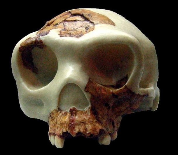 "Reconstruction of the ""Boy of Gran Dolina"" cranium (Museu d'Arqueologia de Catalunya, Barcelona)"