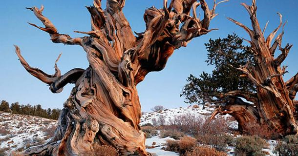 Bristlecone Pine Forest of the White Mountains in California. This particular grove of bristlecones are the oldest living things on the planet. (CC BY 2.0)