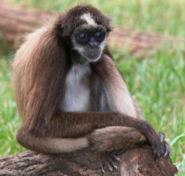 Brown spider monkey is a descendant of the Chilecebus carrascoensis. (Fir0002 / CC BY-SA 3.0)