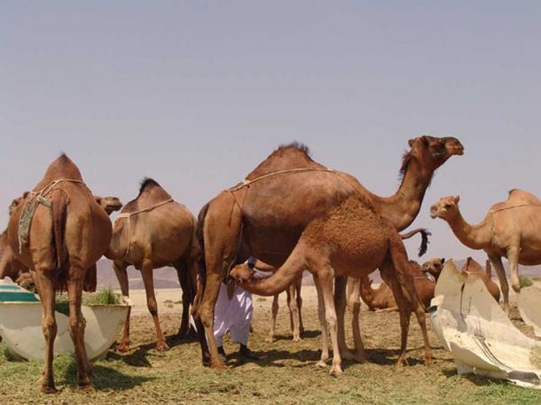 Camels feeding in Saudi Arabia.