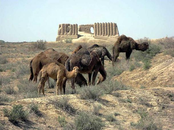 Camels grazing before the Great Kyz Kala, Merv, Turkmenistan.