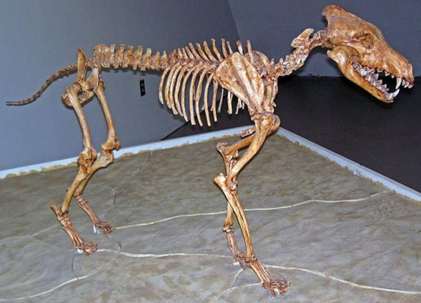 Canis dirus Leidy, 1858 - fossil dire wolf skeleton from the Pleistocene of North America.