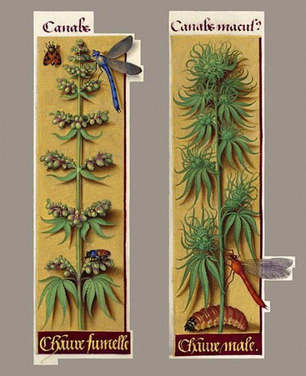 Cannabis sativa, as seen in the Grandes Heures of Anne of Bretagne, (1505-1508). Here we have probably the most ancient botanic depiction of the plant in the western world (male and female).