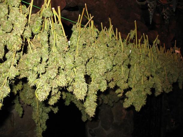 Cannabis (Images via Liza Knox.)