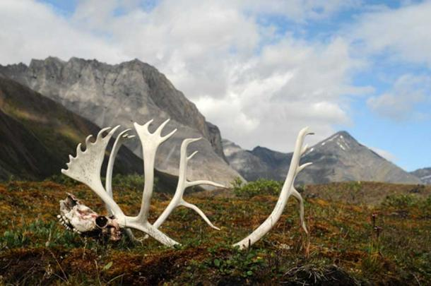 Caribou Antlers and Skull in Gates of the Arctic National Park.