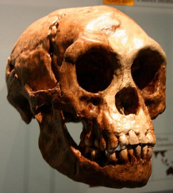 "Cast of a Homo floresiensis (""Hobbit"") skull. The Homo floresiensis skull contained a brain about the size of a grapefruit."